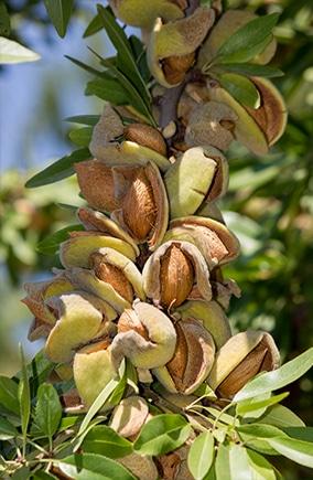 Mandelöl Baum Mandelbaum