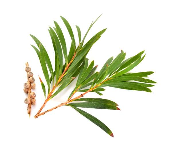 Teebaumöl für die Haare - Pflanze
