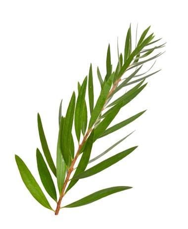 Teebaumöl für die Haare